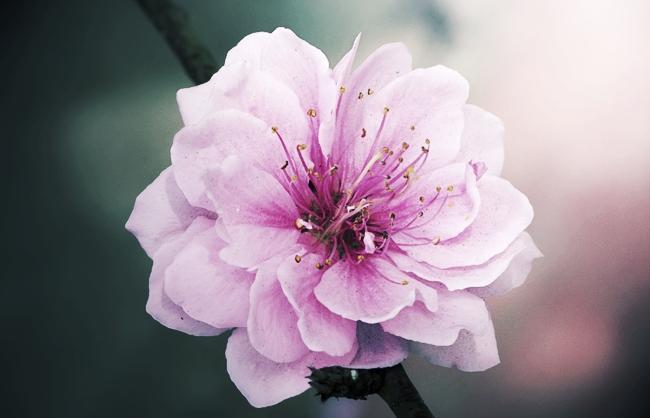 Sanctum_Inle_Resort_Myanmar_Flower_Macro_Cherry_Blossom.jpg