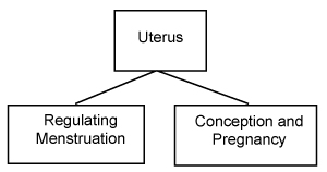 Figure 2. The Two Functions of the Uterus