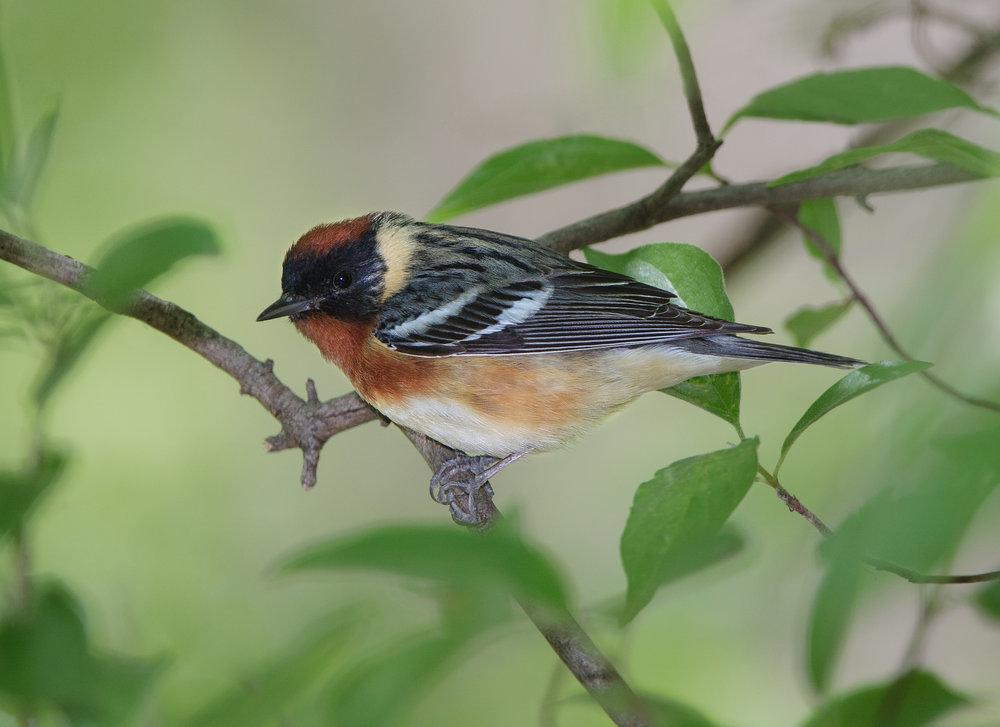 Bay-breasted Warbler - Jeff Nadler.jpg