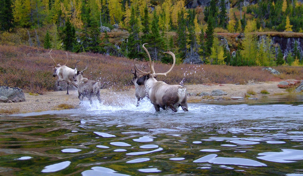 Caribou from the George River Herd in Labrador (Photo: Valérie Courtois).