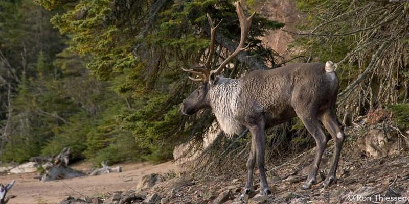 caribou_3.jpg