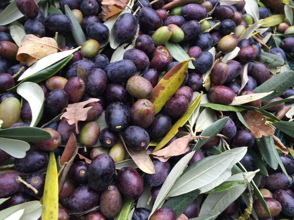 Olive picking and olive oil making (EVOO)