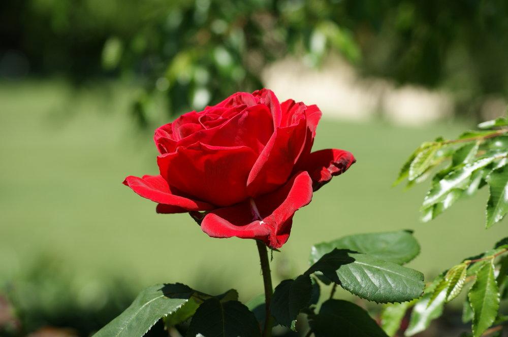 Organic Rose Essential Oil -