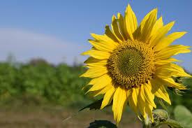 Organic Sunflower Seed Oil -