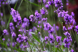 Organic Lavender Essential Oil -