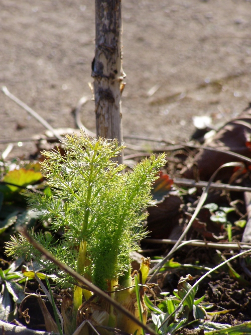 One of the first signs...spring fennel