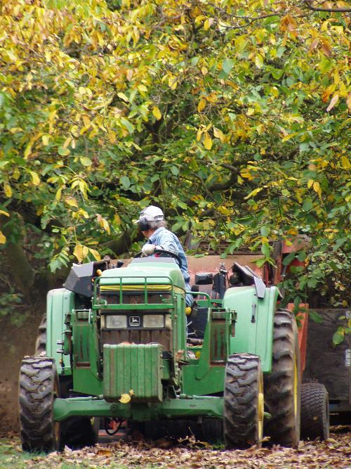 Claus Eggers harvesting English walnuts on his farm Eggers Acres in Dundee.
