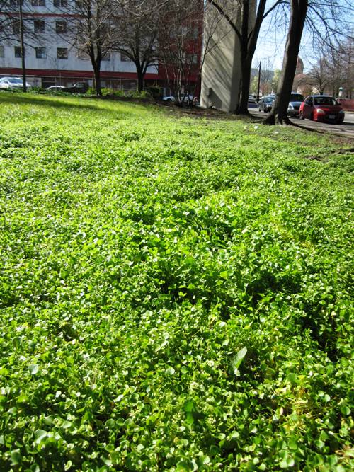 I found it here! Sea of miner's lettuce...