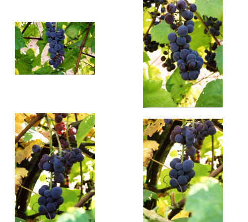 Lon Rombough's favorite grape captured from his website...Swenson Red grape.
