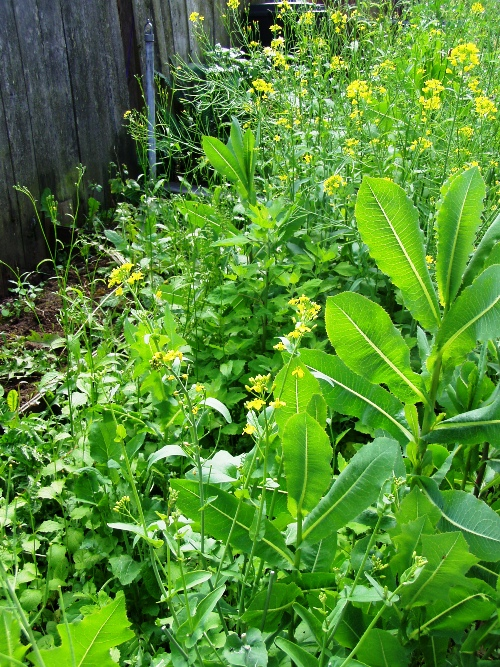 Wild mustard and other wild greens in John's backyard.