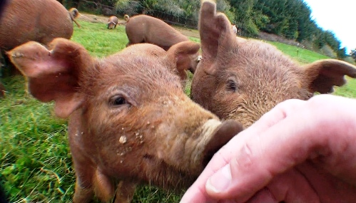 Red Wattle piglets...