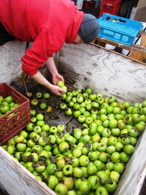 Nat sorting through one of the last Newtown Pippin apple bins.