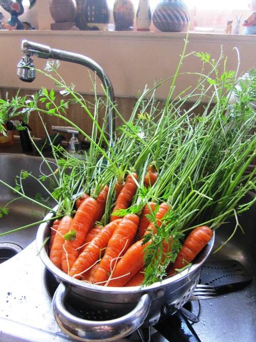 The last of the sweet Nantes carrot harvest from the backyard...