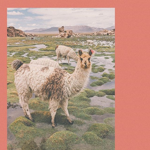 🦙🥰🦙 to all the llamas i've loved before #myfunnyvalentine #happyvalentinesday