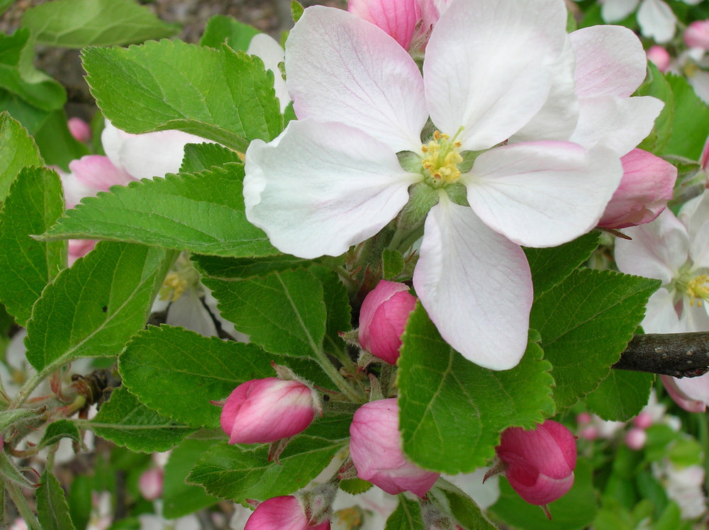 Apple Blossom Festival - This annual event is the Valley's springtime celebration of traditions and agricultural heritage. It also signals the start of tourist season.