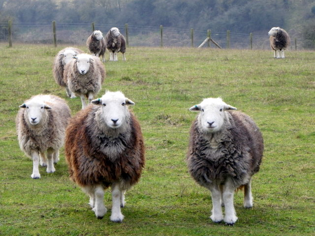 Herdwick Sheep showing varying grey coat colour