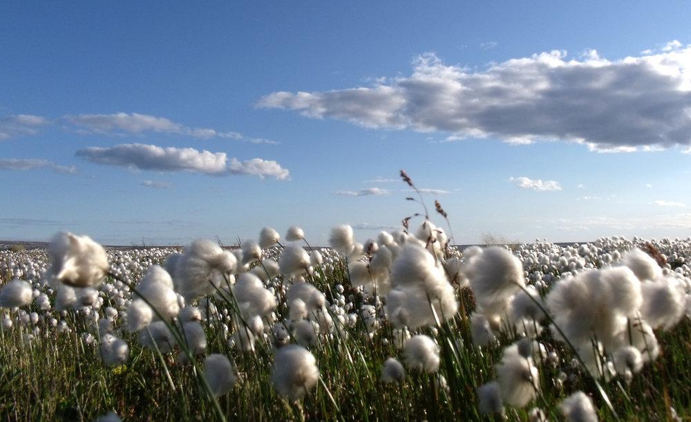 A Sea of Cotton
