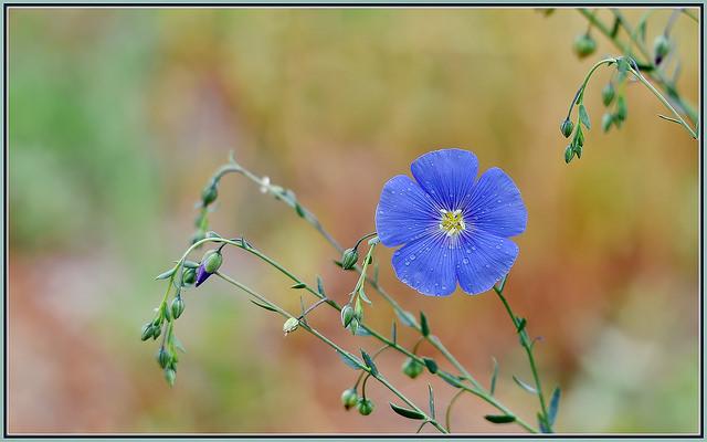 Tiny Blue Flax Flower
