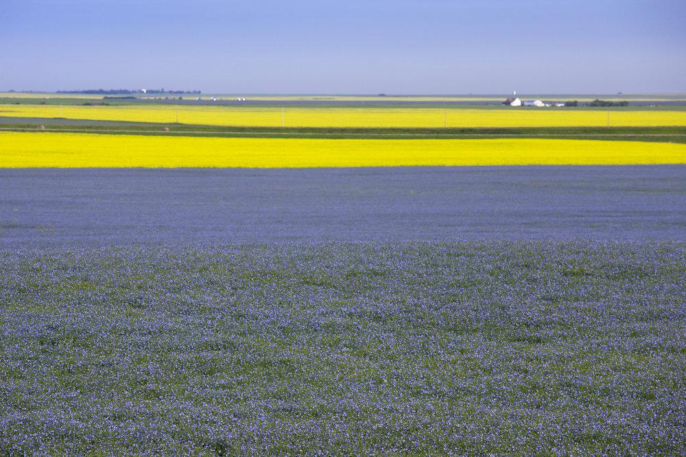 Field of Flax in Flower