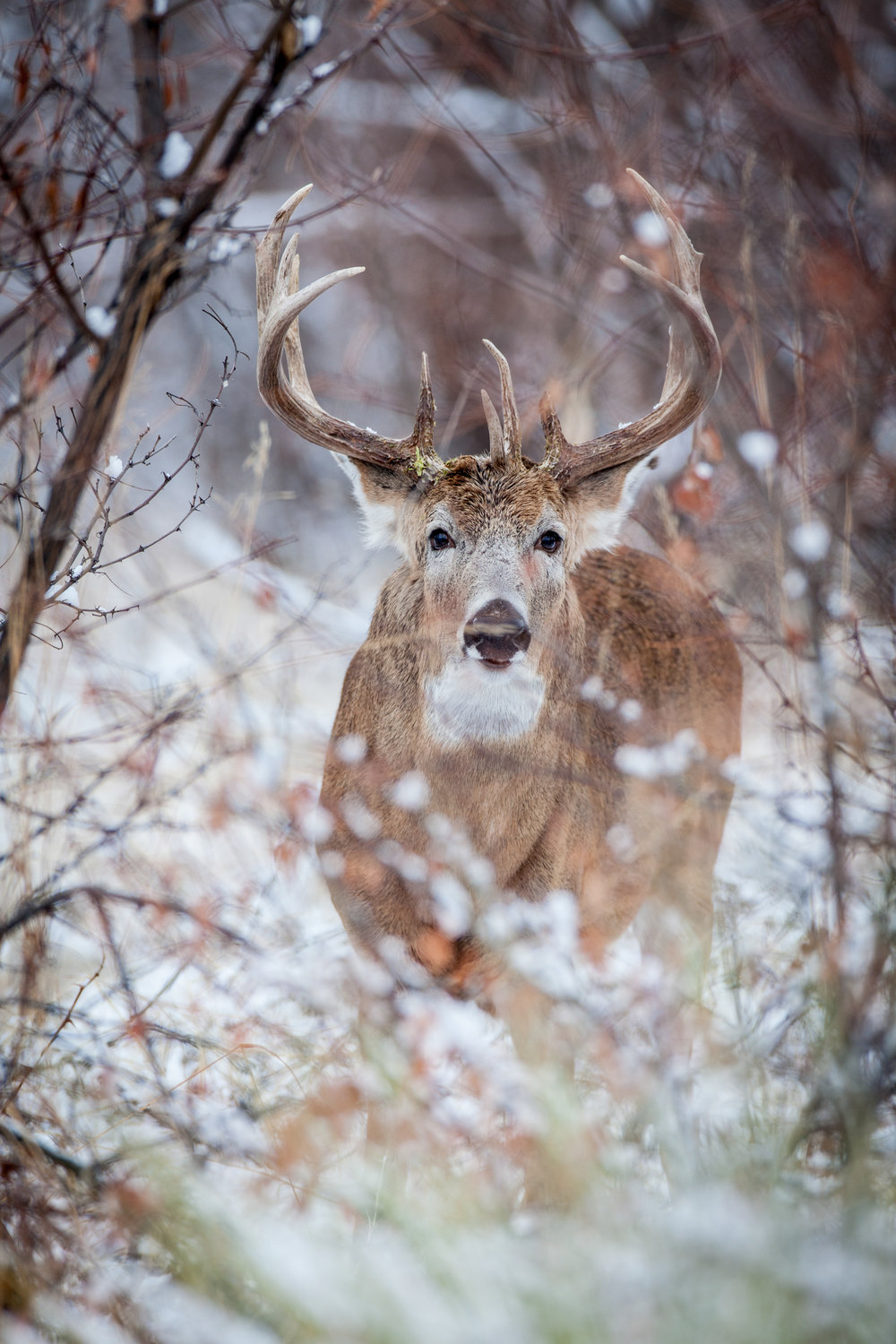 mature whitetail buck between trees