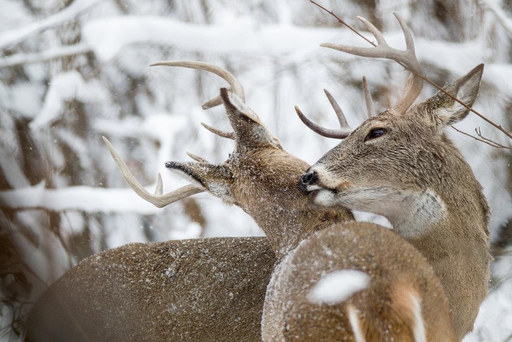 two whitetail bucks in snow