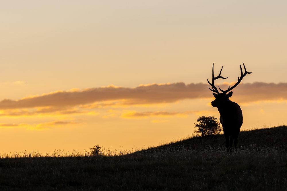Outline of bull elk skylined at sunset