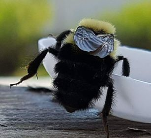 An Eastern Bumble Bee