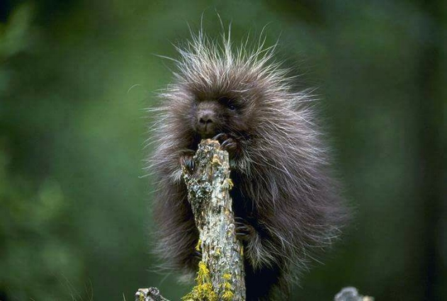 Photo - porcupette (baby porcupine), and NEVER a good pet!