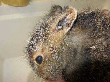 cottontail rabbit courtesy Living Sky Wildlife Rehab., Saskatoon.