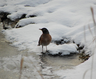 American Robin getting water from a spring site. Spring sites flow all winter long in several areas, providing water sources even during the extreme cold