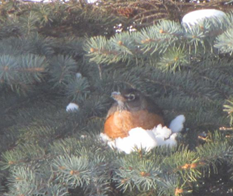 American Robin keeping warm in the insulated snow under the cover of an evergreen.