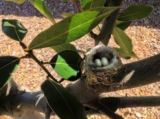 Tiny hummingbird nest. The eggs no bigger than coffee beans. Photo by Craig Swanson.