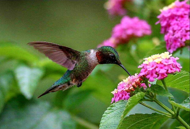 Male Ruby-Throated Hummingbird. Photo   captured at the critically acclaimed Hummingbird Aviary, Arizona-Sonora Desert Museum in Tucson, AZ. A must-visit destination for anyone with a passion for hummingbirds!Photo by Tad Kelly
