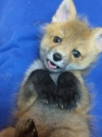 Orphaned Red Fox Kit at Living Sky Wildlife Rehab. Photo courtesey Living Sky. Note that all fox kits are born dark. The giveaway in identification is the white tip of the tail.