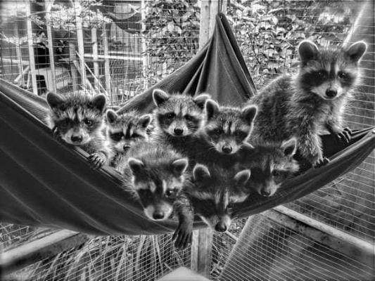 Orphaned raccoons kits from 2017. Photo courtesy of Bandit Ranch Rehab.