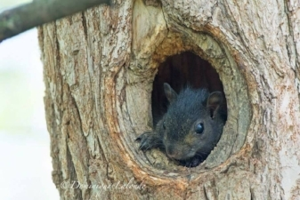 Gray Squirrel nest with juvenile peeking out. Photo by Dominique Lalonde