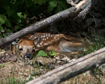One of this year's new fawns. Photo by Doug DeDecker.One of this year's new fawns. Photo by Doug DeDecker.
