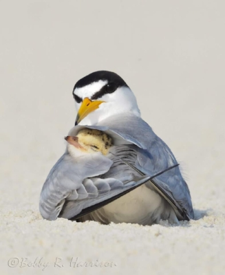 Least Tern protecting her chick. Photo by Bobby Harrison