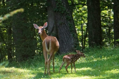 White-Tailed Deer doe and fawn. Photo by Amy Pruett