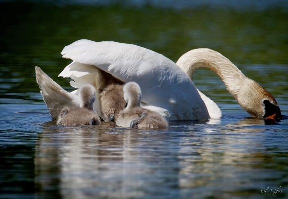 Swan with her Cygnets, starting to pile up for a ride. Photo by Ole Sejfert