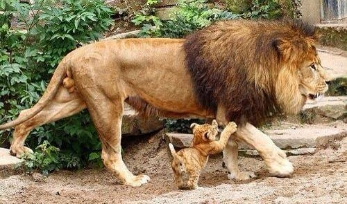 African Lion father with tiny cub. Photo by Nanette Wheeler-Carter.