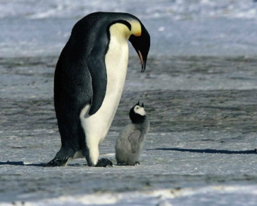 Emperor Penguin father and chick. Photo by Nanette Wheeler-Carter.