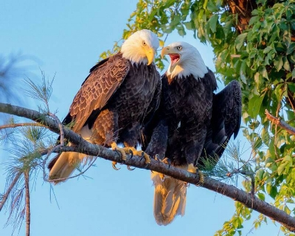 American Bald Eagle mated pair. One of them is certaintly getting an earful! Photo by Tad Kelly.