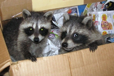 Orphaned raccoon kits. Looking a bit mischievous! Photo by Educator and Rehabber, Mark Rosenthal