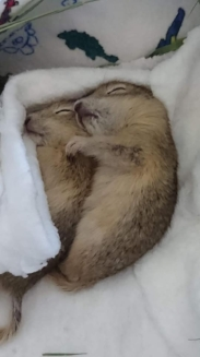 "Huddling orphaned baby gophers. Photo courtesy of ""Living Sky Wildlife Rehabilitation"", Saskatoon. Rehabbers know how important it is to keep the babies calm, warm and comforted."