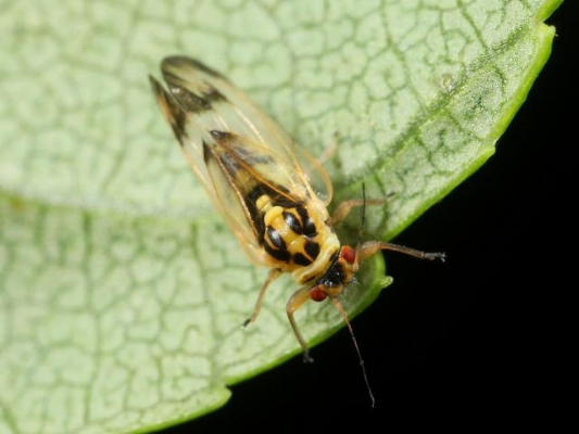 The dreaded Cottony Ash Psyllid