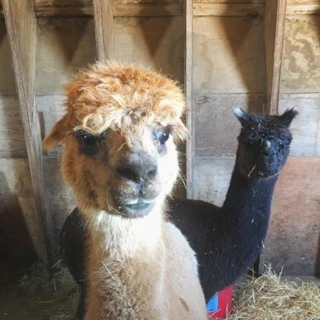 Maelle & Matilda, Maggy's Barn's resident Alpacas