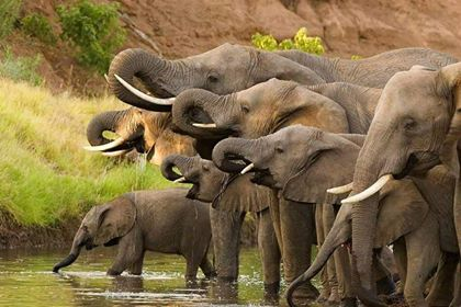 A beautiful African Elephant family stopping at the old watering hole for a drink