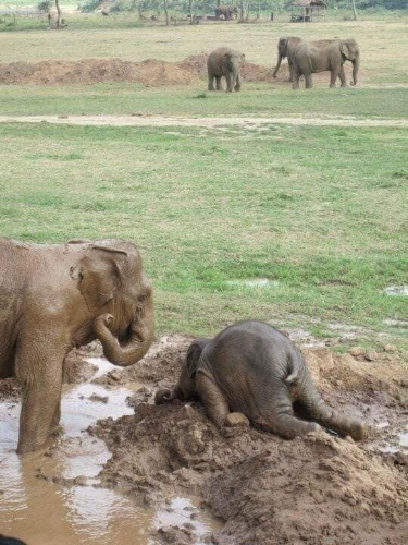 Baby elephants have temper tantrums just as human children do. (Source: Elephant Nature Park, Thailand)