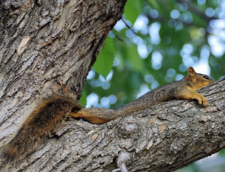 Red Squirrel cooling off on a tree limb during the 40 degree weather. They spread their bodies out and pant. Often they will do so on the ground, which is another reason to keep your cats inside! Photo by Kimberly Epp.
